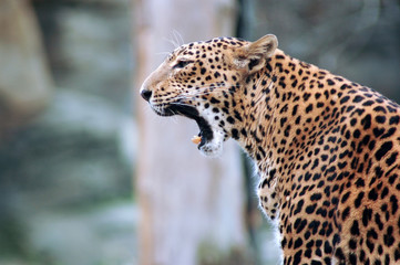 Portrait of a yawning  leopard (Panthera pardus); panther.