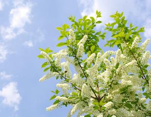 blooming bird cherry tree