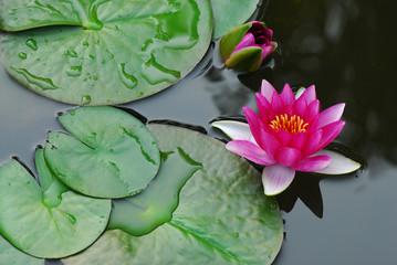 ninfea fiori 598