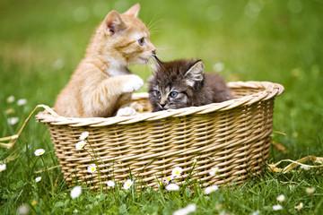 zwei Katzenkinder im Körbchen
