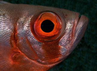 Macro bigeye fish red