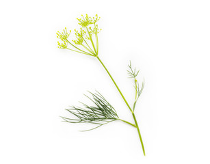 Fresh bunch of dill