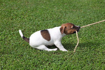 Jack Russel Terrier puppy tugging on a rope