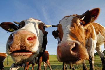 Kühe Cow
