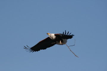 Afrikanischer Seeadler