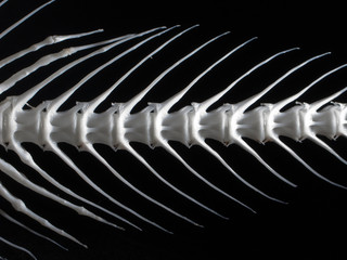 Sea fish white bone