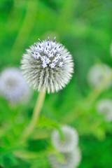 Beautiful violet round flower in the garden