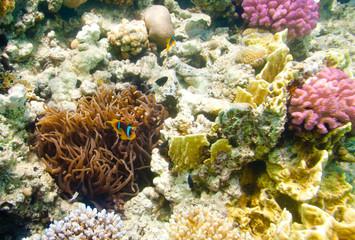 anemonefish -  Red sea