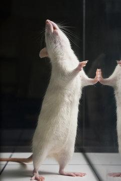 white (albino) laboratory rat standing on two feet on board duri