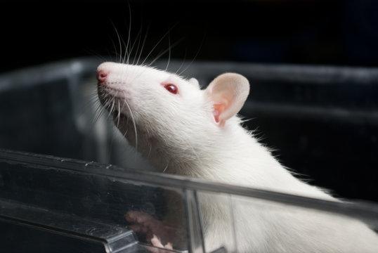 white (albino) laboratory rat in acrylic cage peeking and climbi