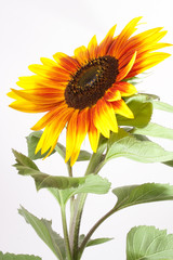 rot gelbe Sonnenblume