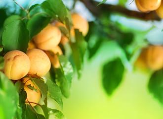 Fotoväggar - Growing Apricot