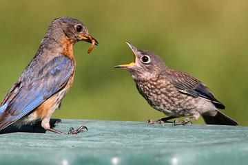 Fotoväggar - Female Eastern Bluebird Feeding A Baby