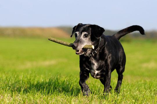 Hundesenior mit Stöckchen