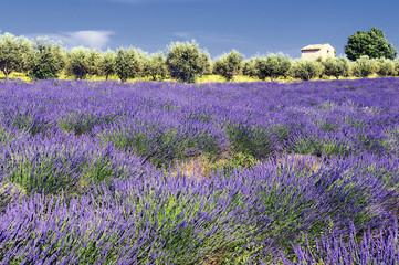 Photo sur Plexiglas Oliviers lavande et oliviers en Provence
