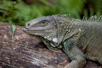 Rhinoceros Iguana (cyclura cornuta) for background use