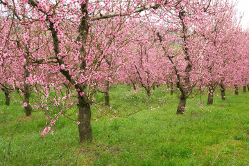 peach trees in line into the field
