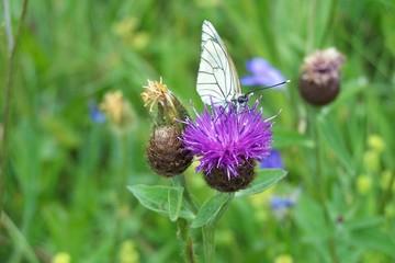 papillon sur fleur violette