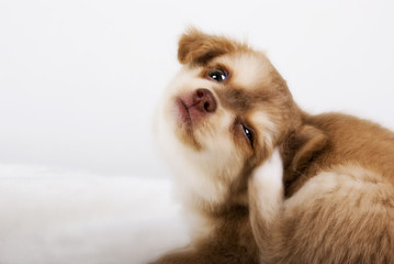 kratzender Chihuahua Welpe