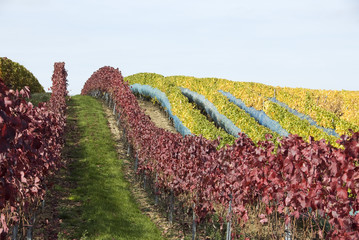 rows of a vineyard with red and yellow leaves