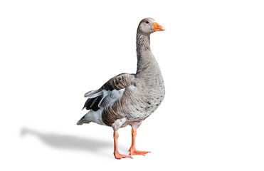 Greylag Goose isolated with Shadow