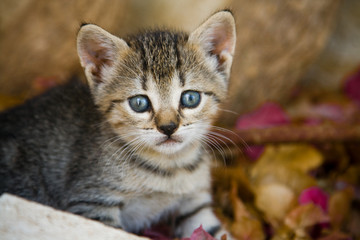 little cat with big blue eyes