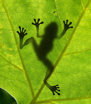 Close up of frog's shadow on leaf
