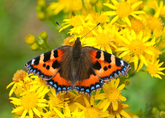 Small Tortoiseshell butterfly on yellow flower