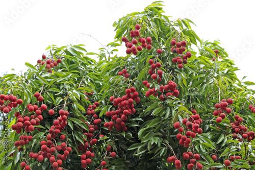 Litchis letchis litchi sinensis arbre fruitier for Arbre fruitier