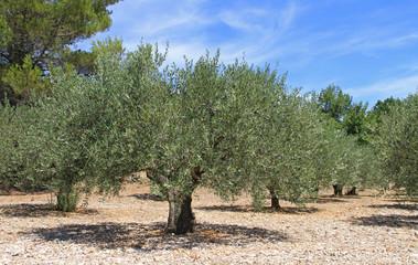 Photo sur Toile Oliviers oliviers, production oléicole