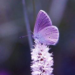Azure Butterfly (Lycaenidae) on White Flower