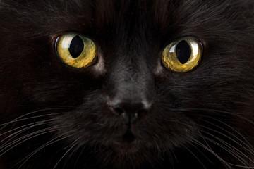 eyes of black cat
