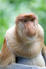 Deurstickers Aap Proboscis monkey