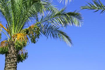 datteln-palme