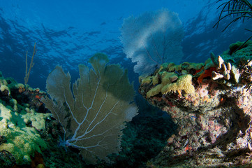 Coral Ledge, with Sea Fan in Foreground