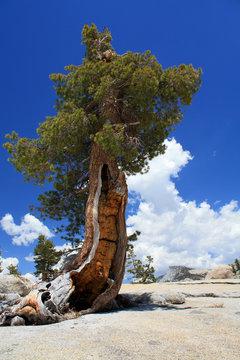 Lone pine on granite