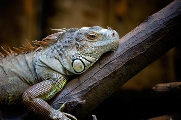 Sleepy iguana
