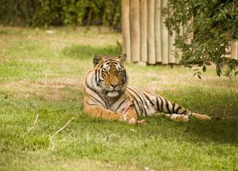 Printed kitchen splashbacks Tiger Amur Siberian Tiger eating