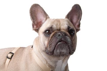 french bulldog isolated on a white background