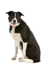 Black and white Border collie sheepdog sticking out tongue