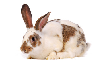 One rabbit on the white