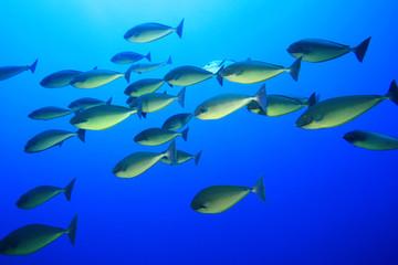 Shoal of Sleek Unicornfish