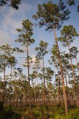 Everglades Slash Pines
