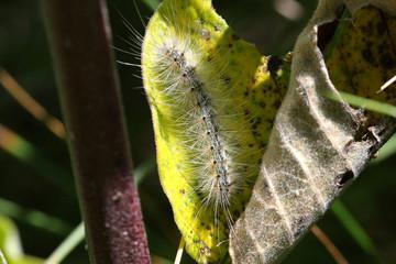 Fall Webworm Moth Caterpillar Hyphantria cunea
