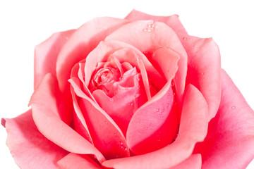 blossoming rose flower