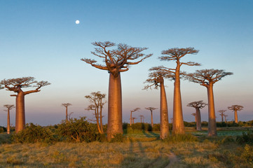 Canvas Prints Baobab Field of Baobabs