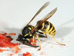 The wasp eats water-melon slices