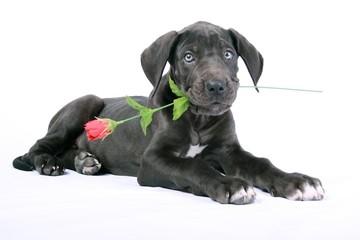 Deutsche Dogge Welpe mit Rose im Maul