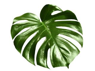 glossy monstera leaf