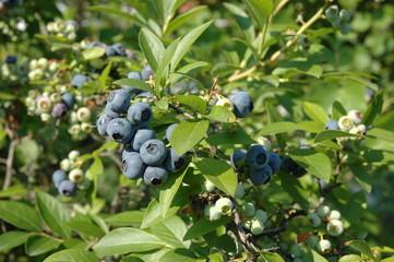 Fototapeta american blueberry obraz